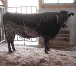 cow1-150x130