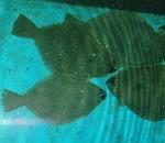 flatfish-150x130